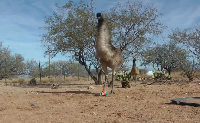 Emu freaking out